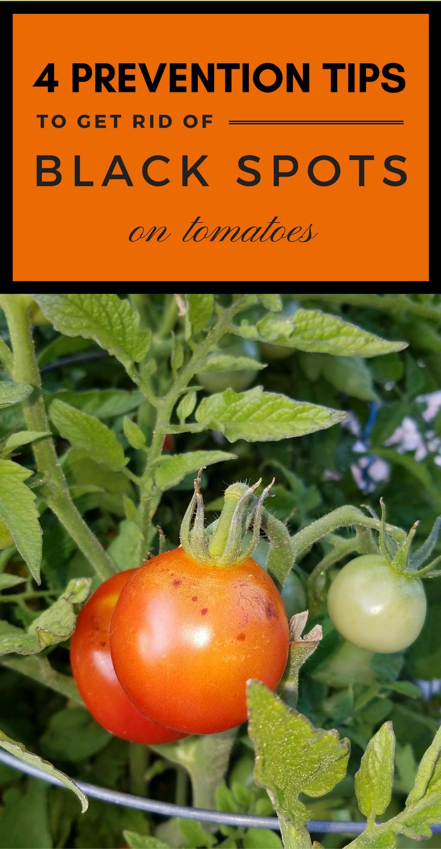 4 Prevention Tips To Get Rid Of Black Spots On Tomatoes 101gardentips Com Black Spot Gardening Tips Tomato