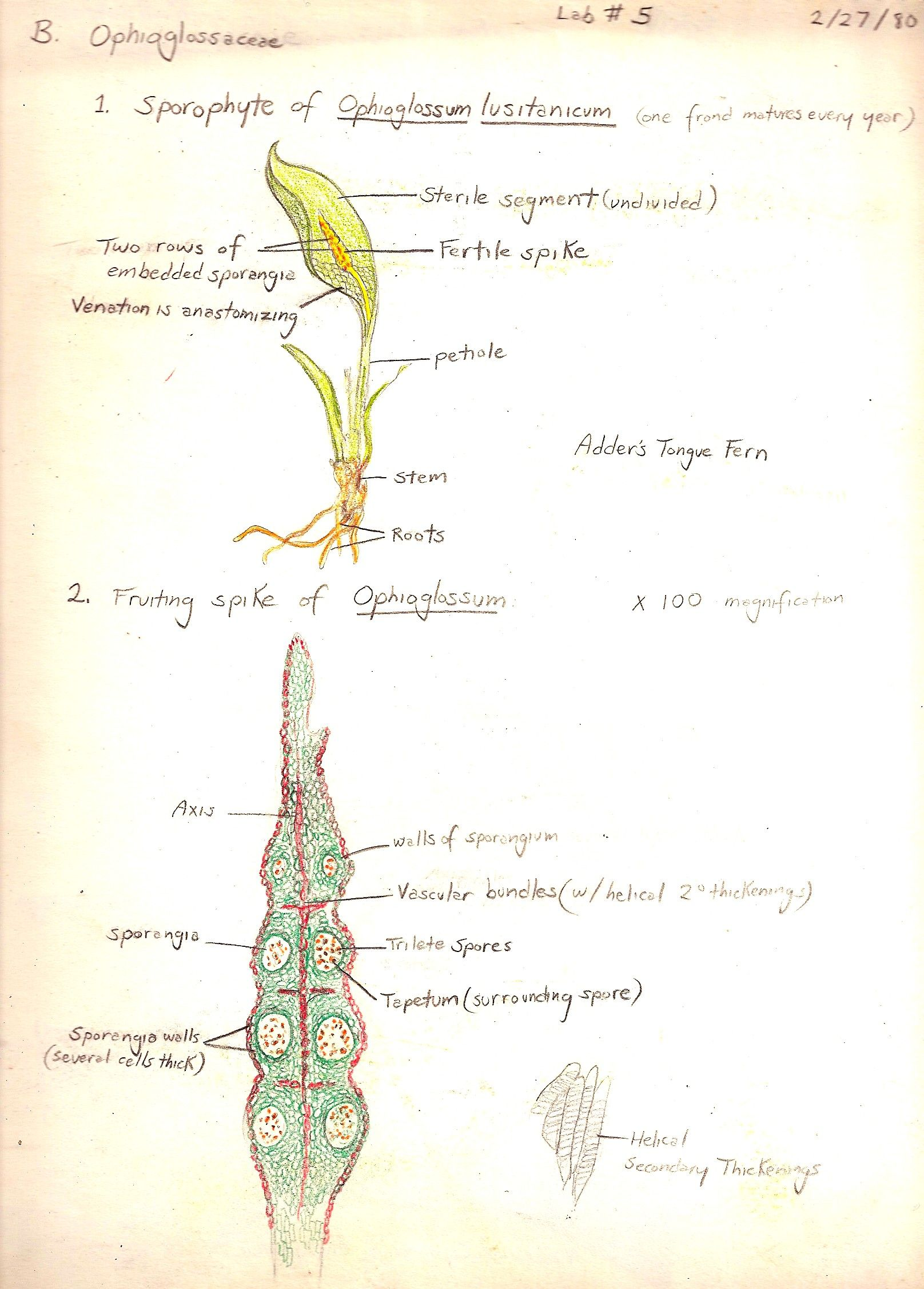 Ophioglossum sporophyte and fruiting spike. Sketched by Gwen in 1980 ...
