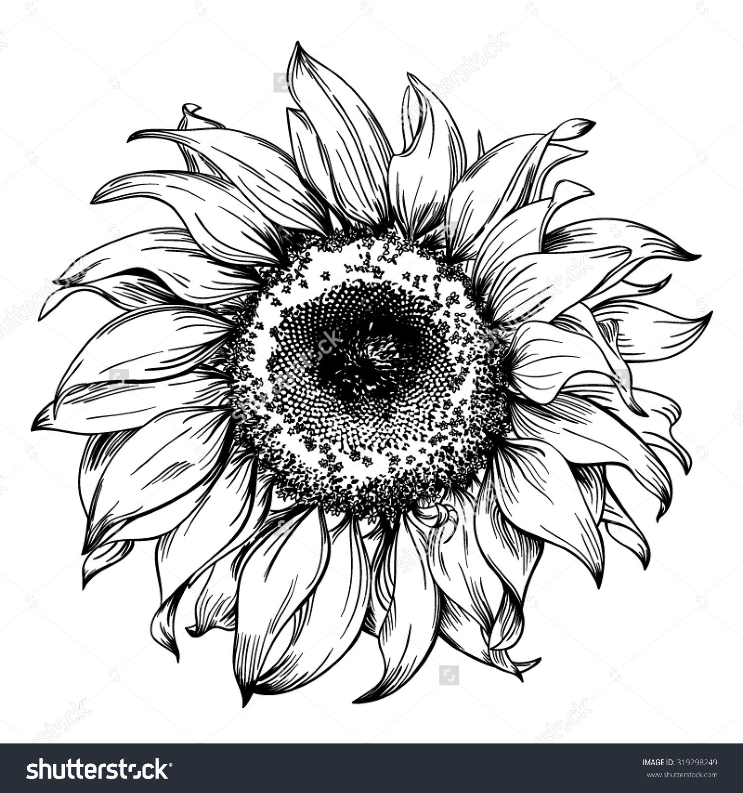 Line Drawing Illustration Artists : Hand drawn realistic vintage sunflower pen and ink drawing