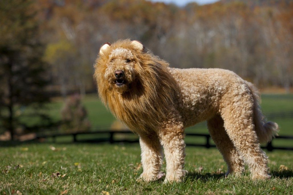 I love people and I love lions Goldendoodle grooming