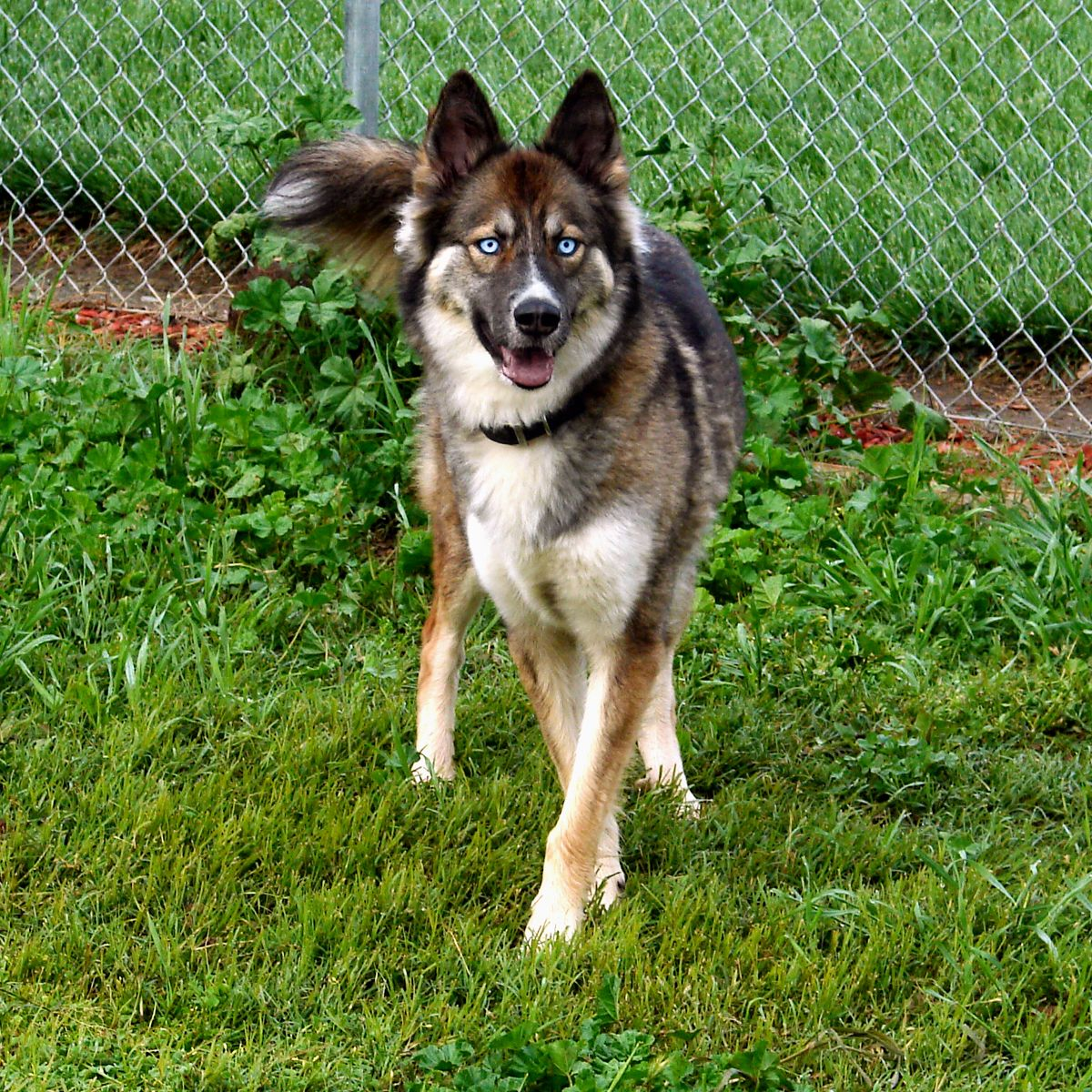 Pin By Dember On Raiya Siberian Husky Mix Female German