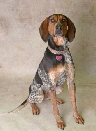 Bluetick Coonhound F Named Pepper In Florence Al Florence Lauderdale Shelter 256 760 6676 Bluetick Coonhound Coonhound F Names