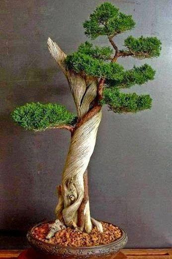 Stunning Japanese Bonsai Plant.