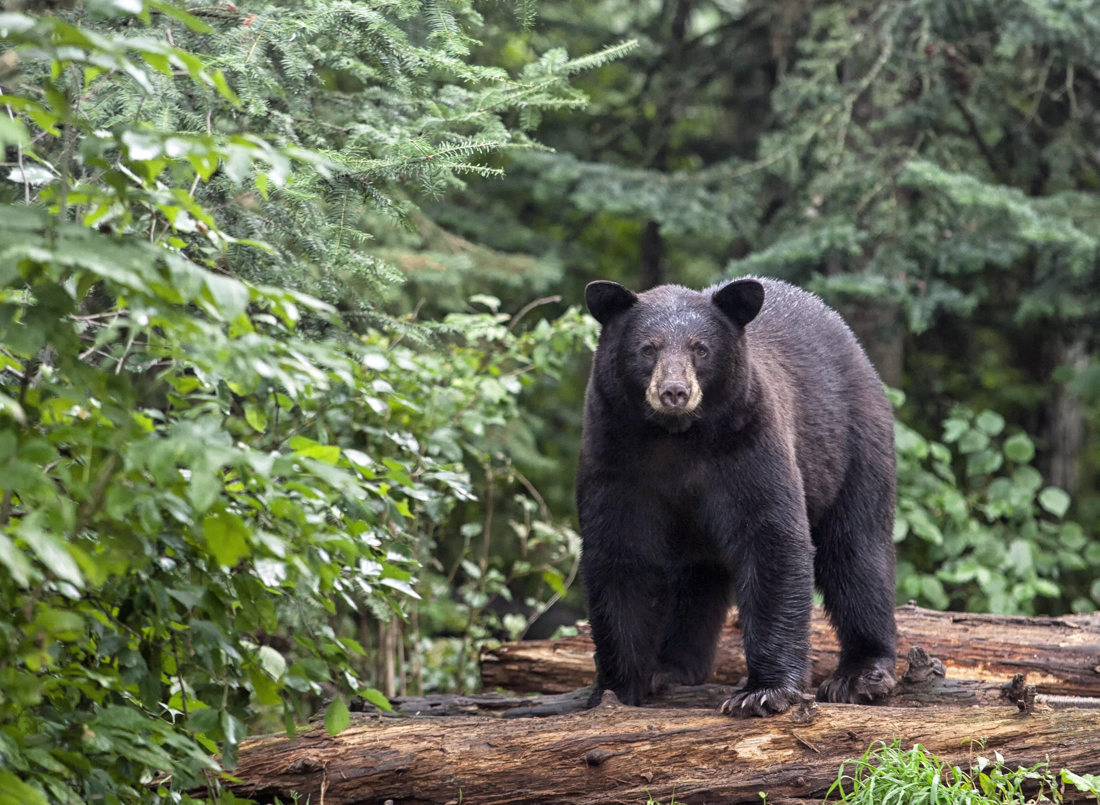 Yosemite National Park Now Lets You Track Its Bears From Your Phone Black Bear American Black Bear National Parks