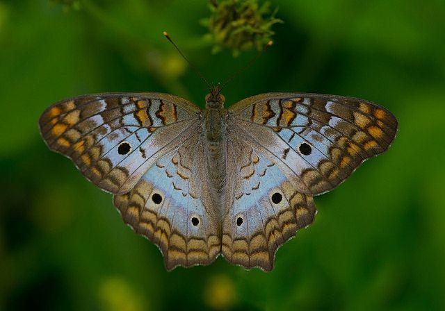 White Peacock (Anartia jatrophae) - Flickr - Photo Sharing!