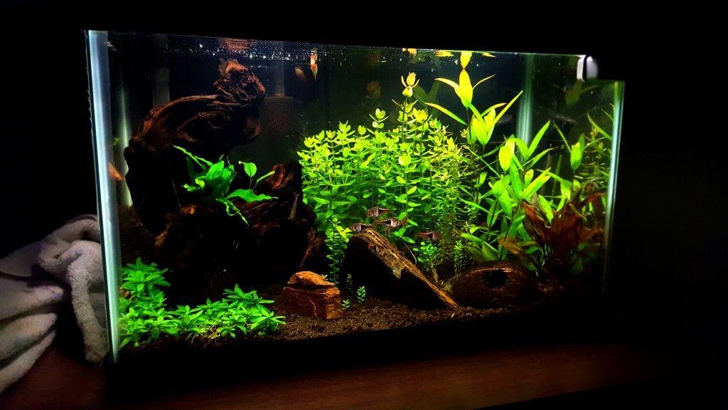 Scarlet Badis Biotope Planted Tank Freshwater Aquarium Aquascape Aquarium