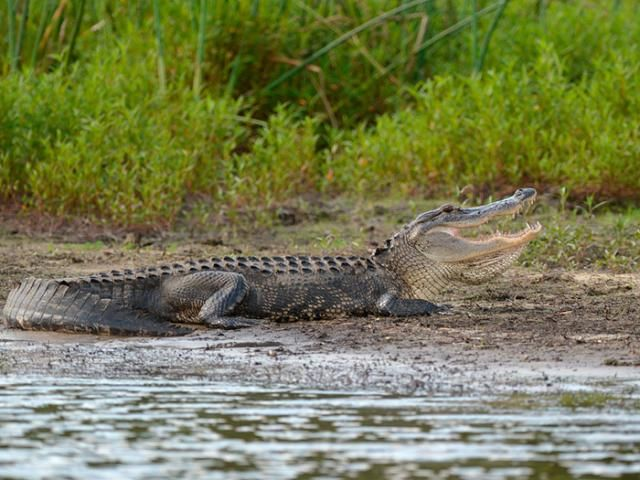 9-Foot Alligator with Human Body in Its Jaws Is Captured in Florida