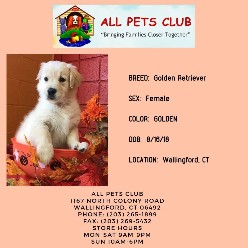 Allpetsclub Wallingford Ct Adoptapet Puppy Goldenretriever