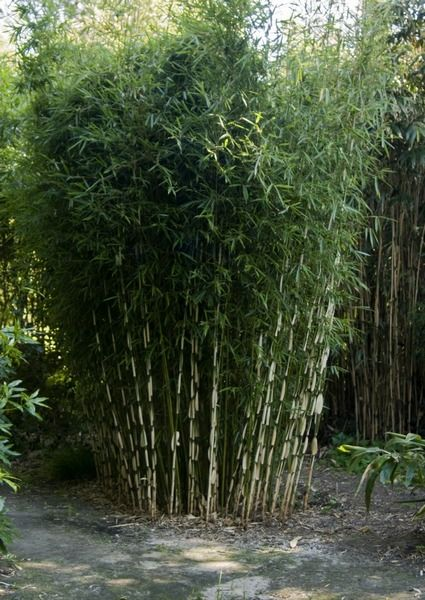 fargesia robusta 39 campbell 39 fargesia bamboos. Black Bedroom Furniture Sets. Home Design Ideas