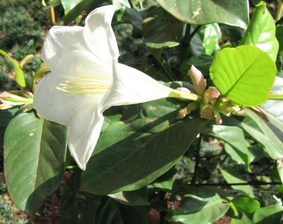Bell Flower Glorious Flower Of Cuba Jamaican Tree Lily Portlandia Grandiflora A Tall Shrub To Around 6 H X 3 W When Grown Plants Tree Lily Fragrant Plant
