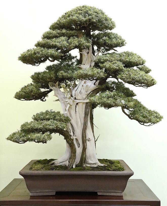 Juniperus Rigida Needle Juniper Bonsai Art Juniper Bonsai Bonsai Garden