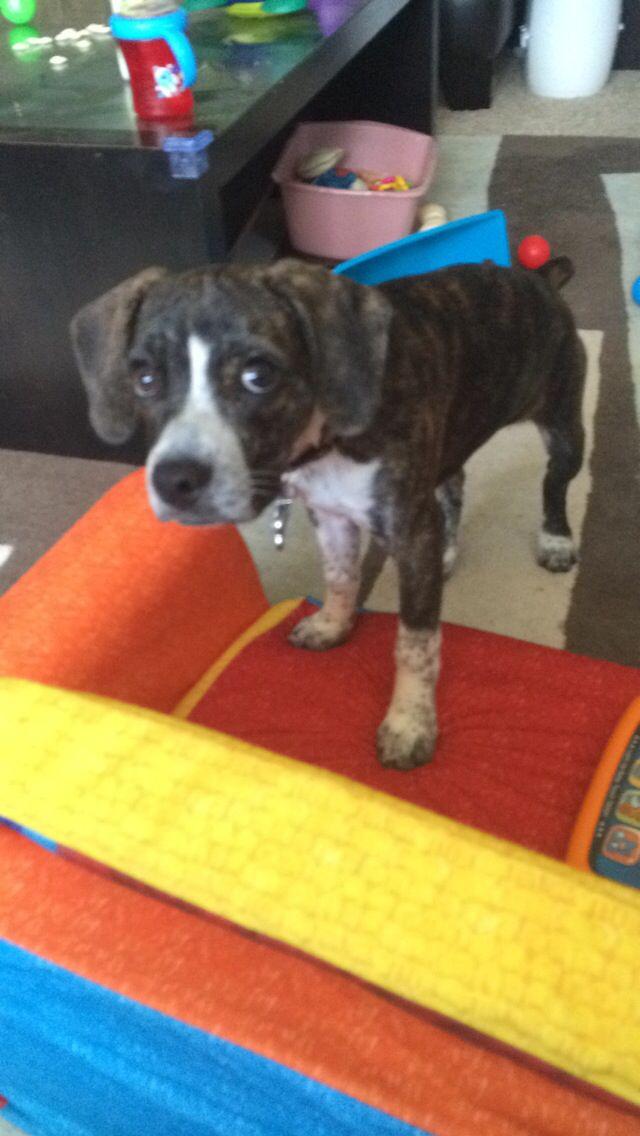 Boglen Puppy Pitbull Dog Terrier Mix Dogs Boston Terrier