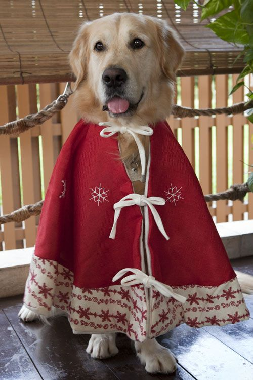 Homer, the Golden Retriever: Homer's Christmas Card Photoshoot 2011
