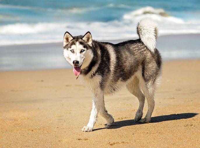 Why You Should Not Shave A Siberian Husky Dogs Husky Dog Lovers