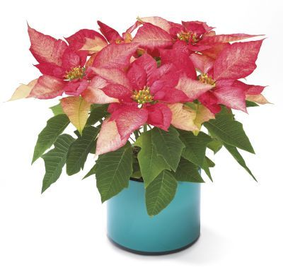 "Pink Poinsettia    B15-4059      The quintessential Christmas plant - in contemporary fashion. Our Pink Poinsettia is cradled in a stylish 6"" planter pot. A marvelous way to express your best wishes for the holiday season.   https://www.4165flower.com/index.asp?pid=4=viewproduct=9791=1"