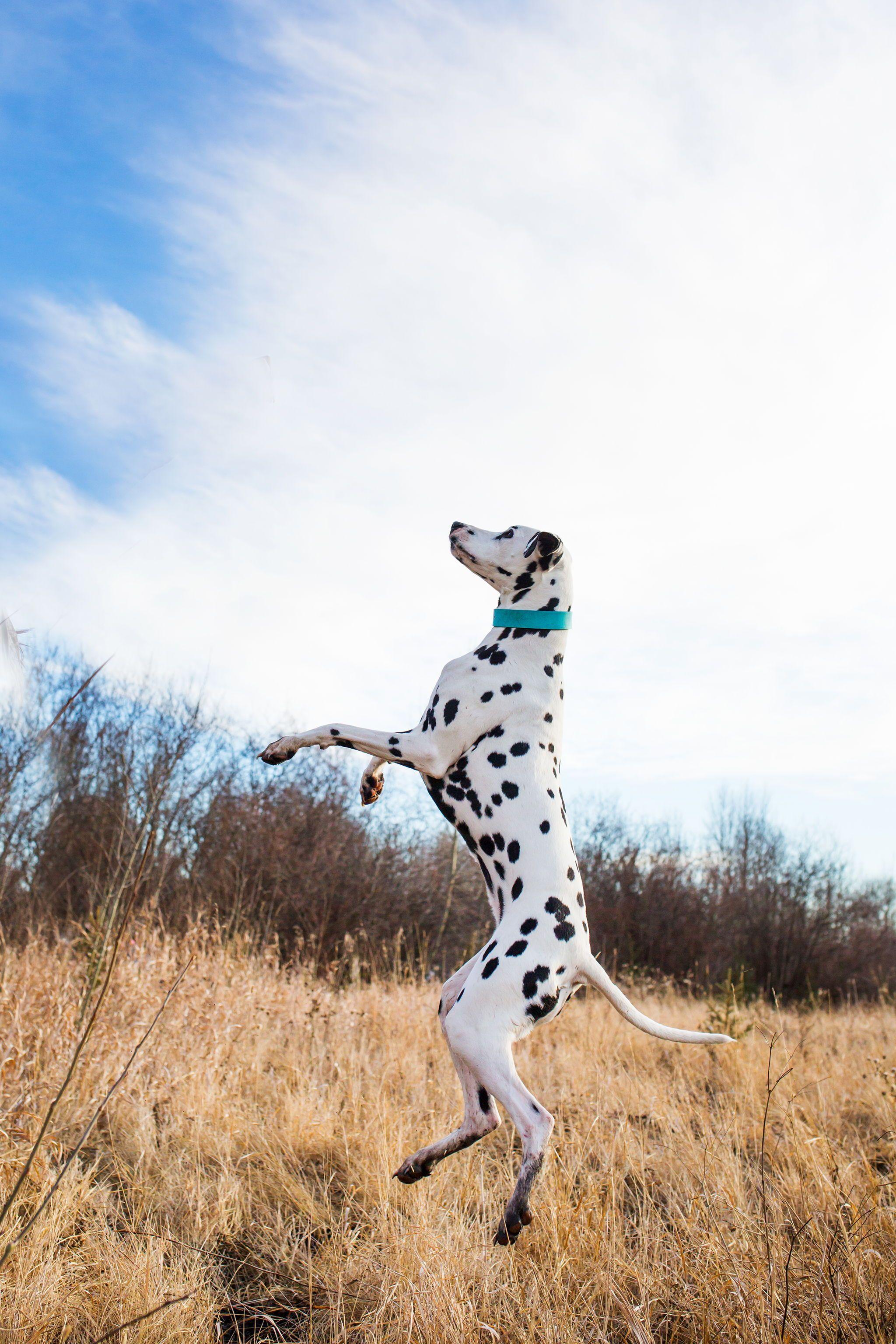 12 In 2020 Mit Bildern Dalmatiner