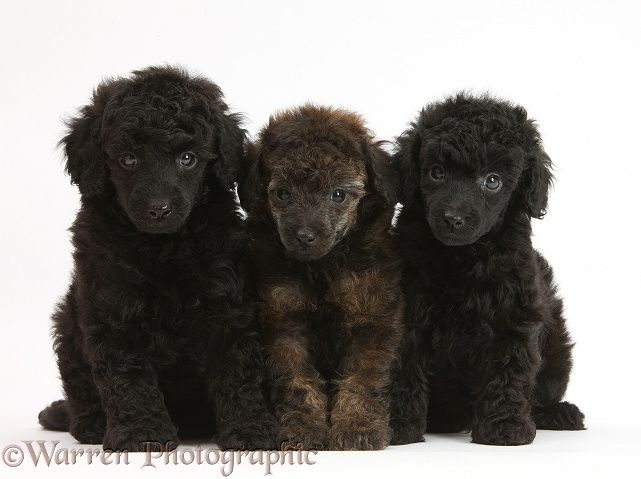 Dogs Black And Red Merle Toy Poodle Pups 7 Weeks Old Photo Toy Poodle Poodle Poodle Dog