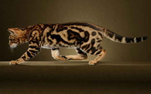 Top 5 Most Luxurious Cat Breeds In The World Bengal Cat Cat