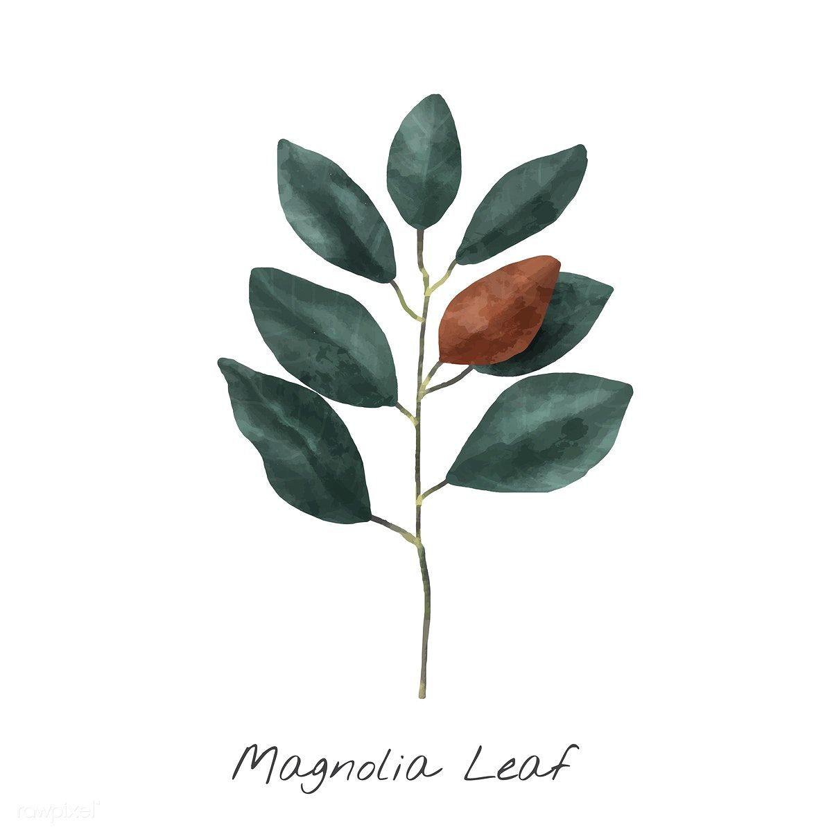 Download Premium Vector Of Illustration Of Magnolia Leaf Isolated On White Watercolor Plants Flower Illustration Plant Illustration