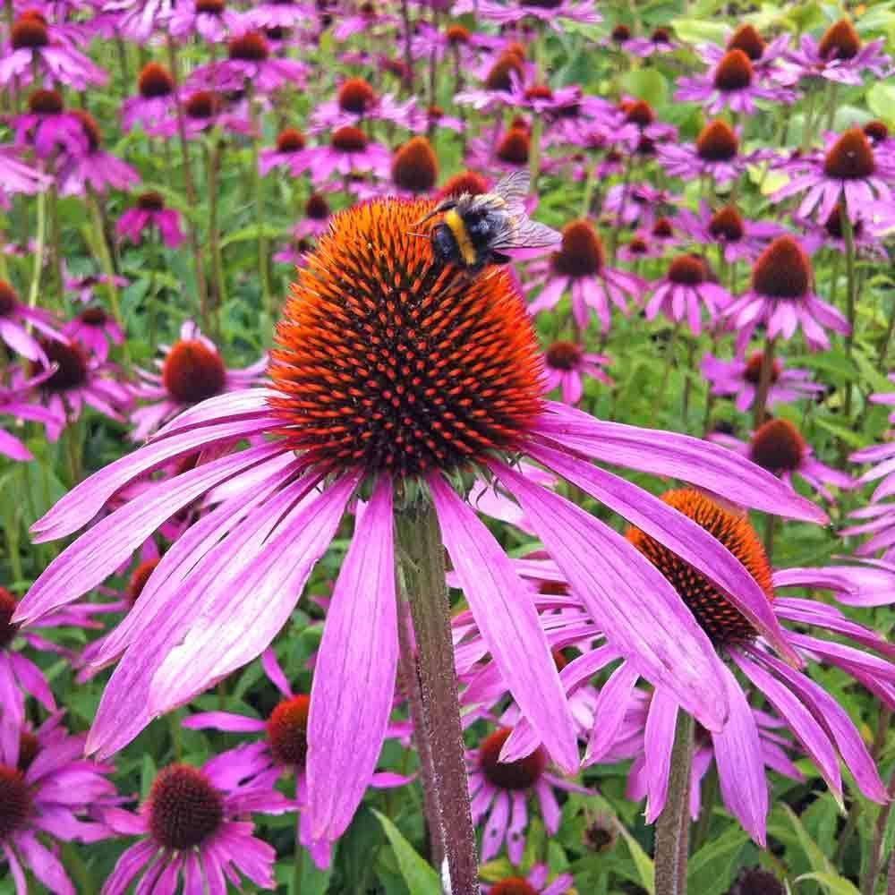 Views From The Garden How To Harvest Echinacea Coneflower Seeds Butterfly Garden Plants Echinacea Flower Seeds