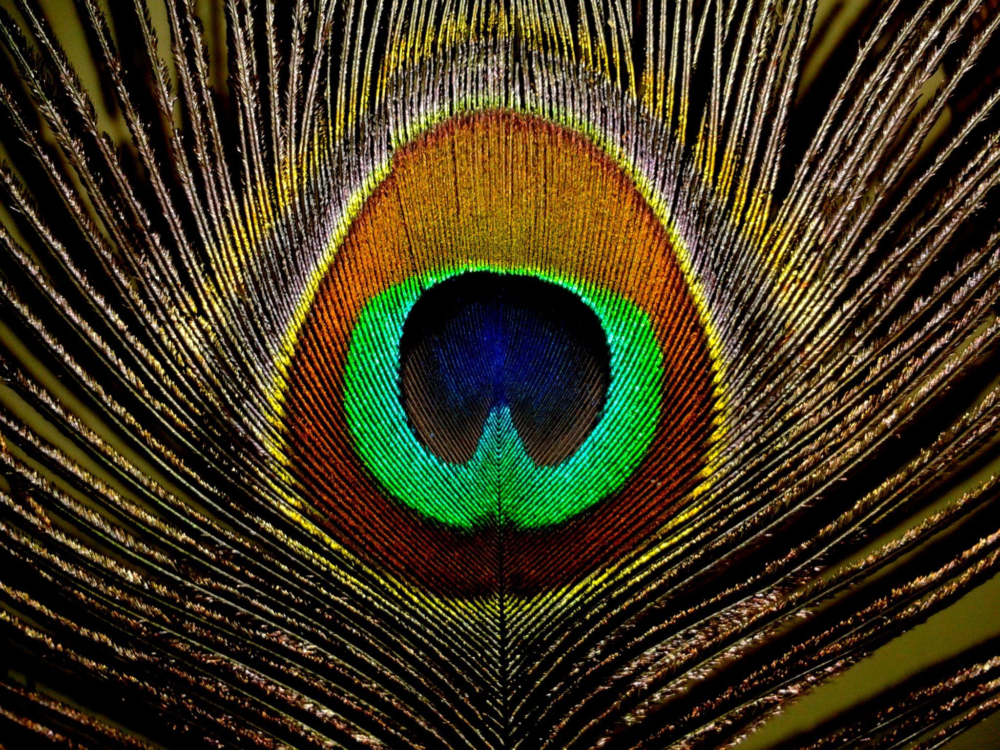 Peacock Feathers HD Wallpapers, Peacock Feathers