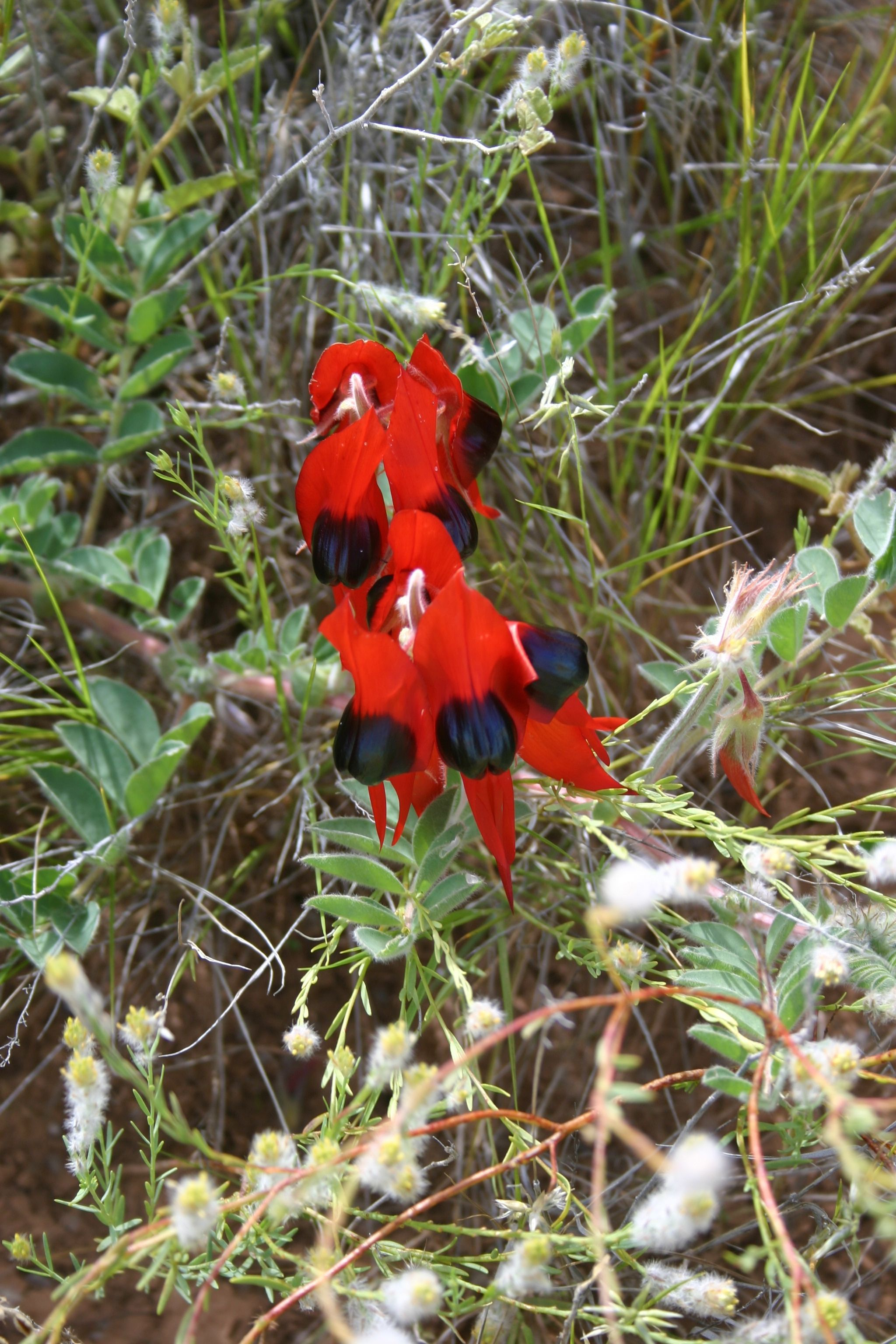 Sturts Desert Pea (With images) Christmas ornaments