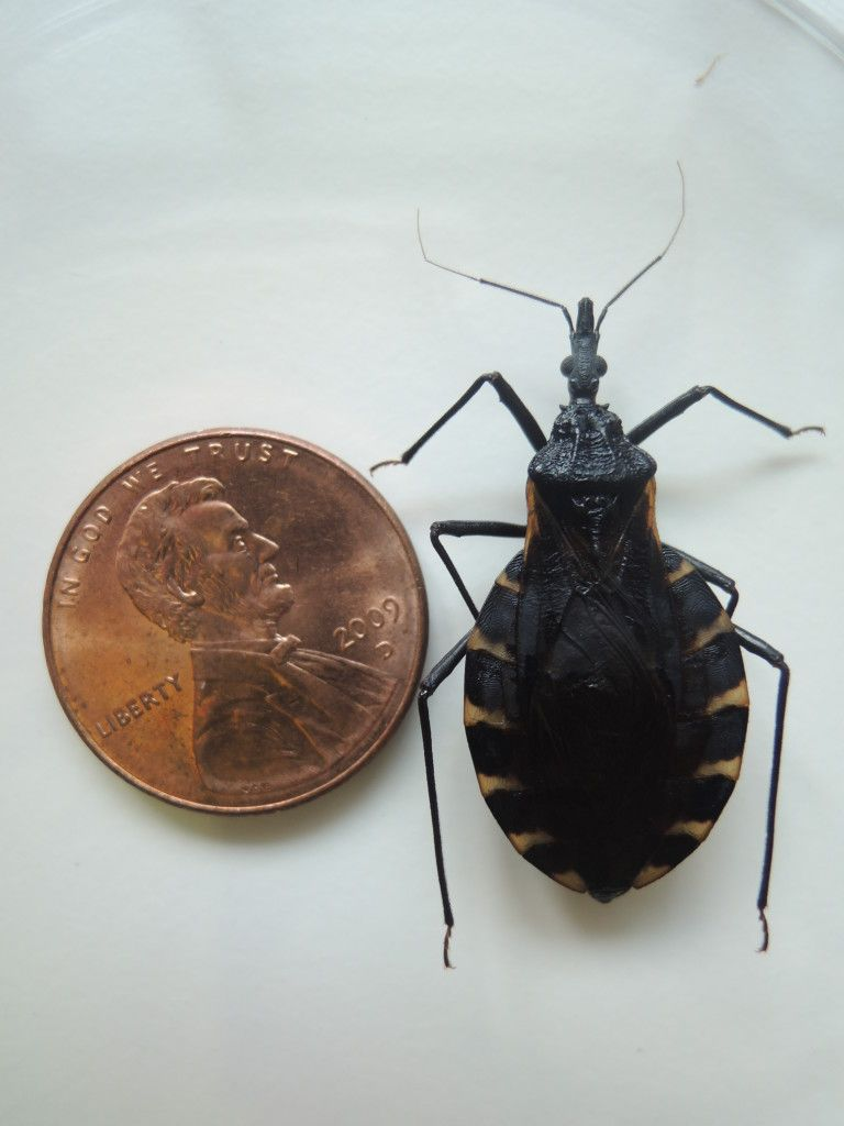 Kissing Bug Identification Requires Closer Look Emergency