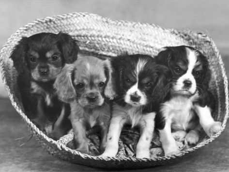 These Four Cavalier King Charles Spaniel Puppies Sit Quietly in the Basket Photographic Print by Thomas Fall from AllPosters.com - $29.99