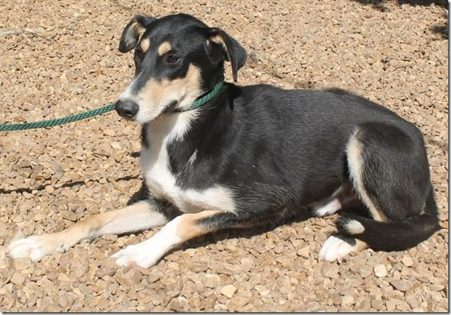 Va To Me Duke Is An 8 Month Old Doberman Collie Mix He Is 51