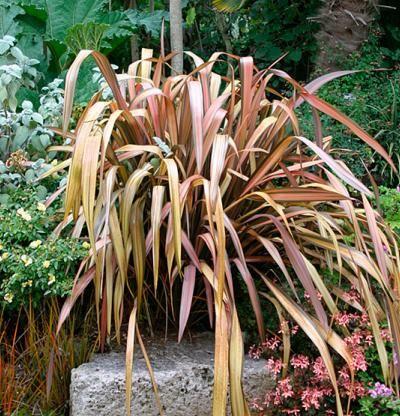 New Zealand Flax Plants Fine Gardening New Zealand Flax