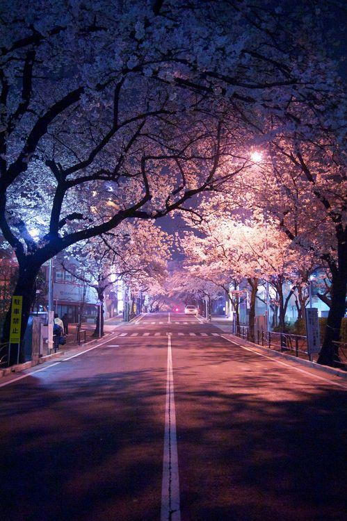 Sakura At Night Cherry Blossom Wallpaper Nature Photography Anime Scenery Wallpaper