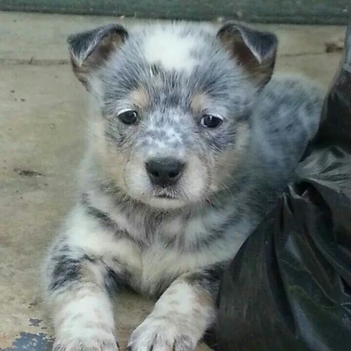 Megs Heeler Puppies Cute Cats And Dogs Beautiful Dogs