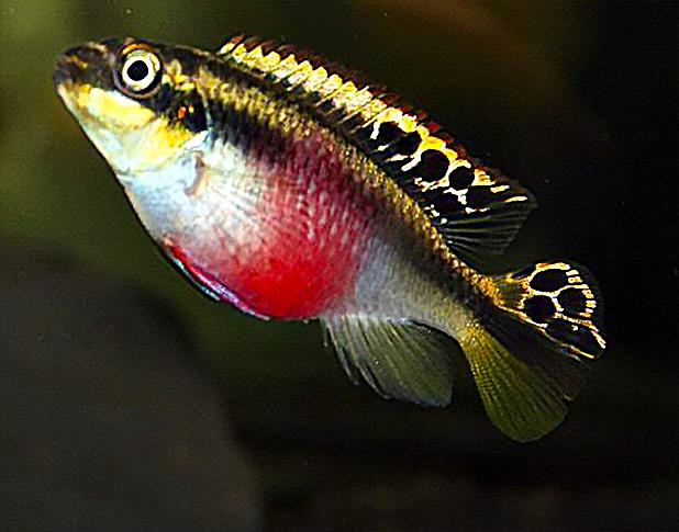 Kribensis Pelvicachromis Pulcher Fish Tank Freshwater Fish Aquascape