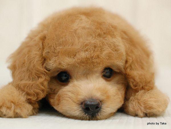 そんな目で見つめられると 絶対可愛いアプリコットのプードル仔犬 の画像 和歌山のペットショップで働くブリーダー社長と店長のblog ブログ レッドとアプリコットとブラックのトイプードルのブリーダーです トイプードル 子犬 プードル ペット 犬