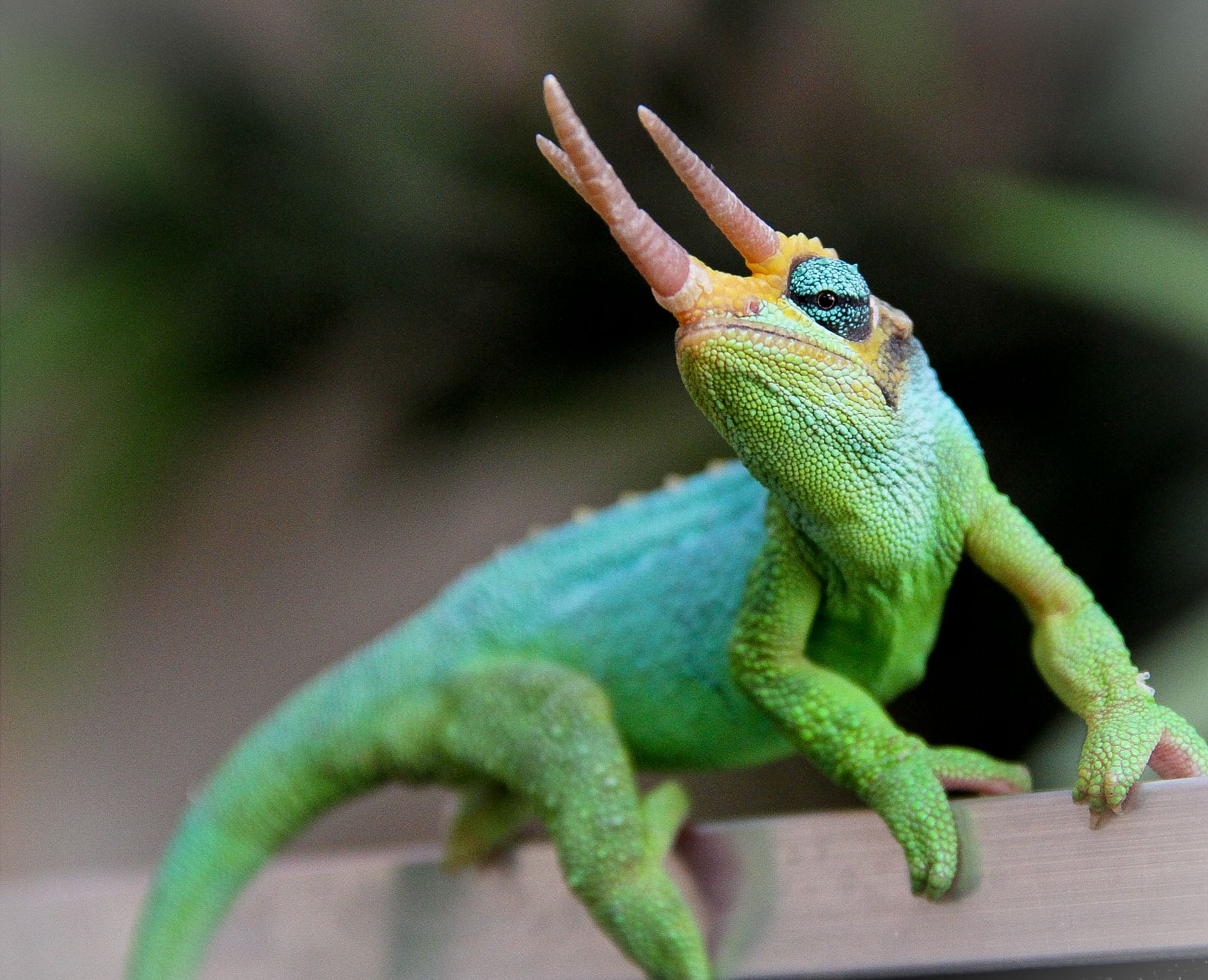 baby jackson chameleon - Google Search | Sweet animal ...