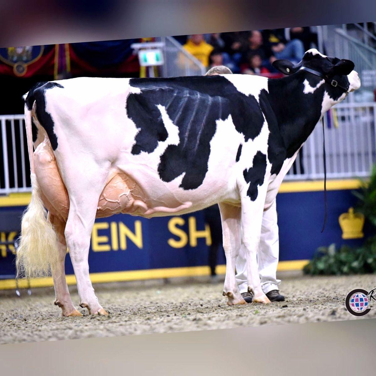 Holstein in 2020 Cute cows, Holstein, Cow