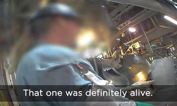 Undercover Slaughterhouse Video Appears To Show Pigs Conscious, Shaking In Pain