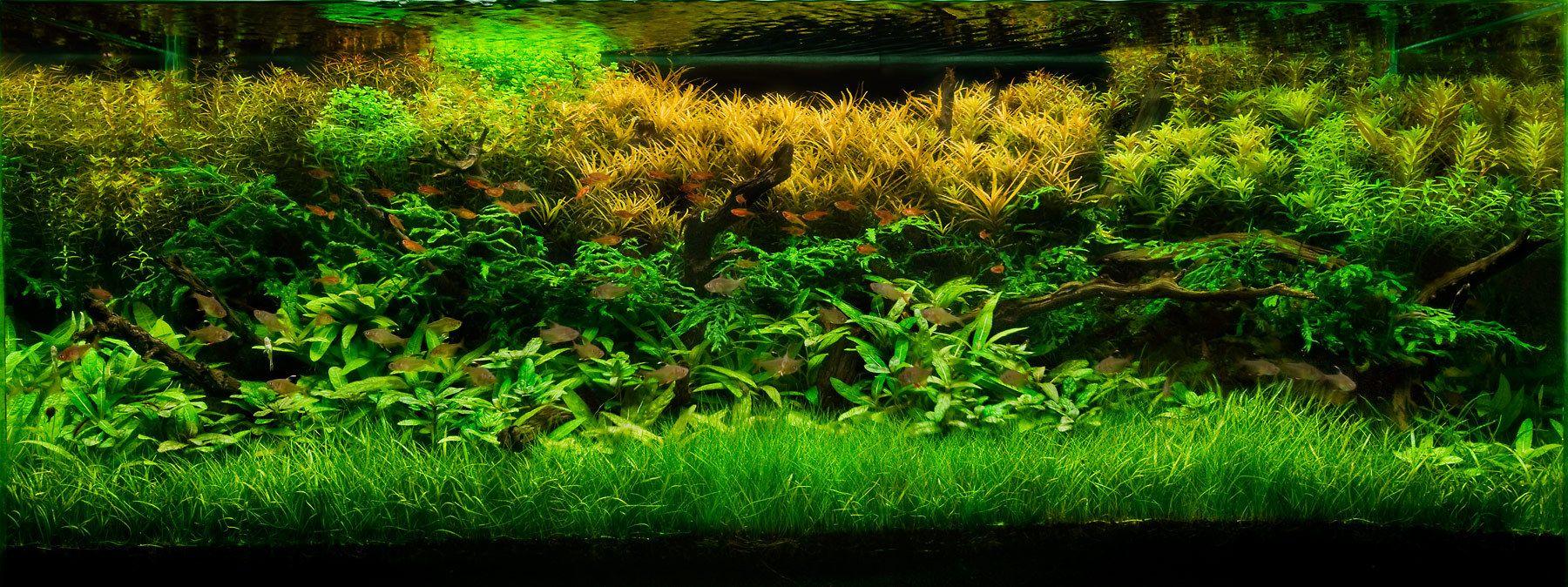 Planted Live Aquarium Plants Planted Aquarium Freshwater Aquarium Plants