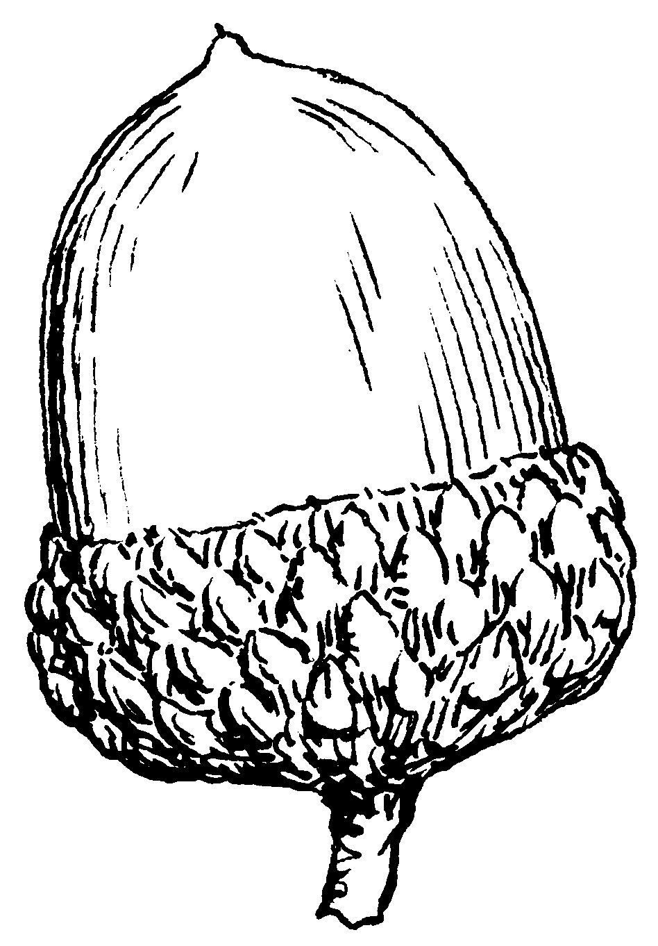 acorn luck symbol the acorn is considered to be an emblem of good