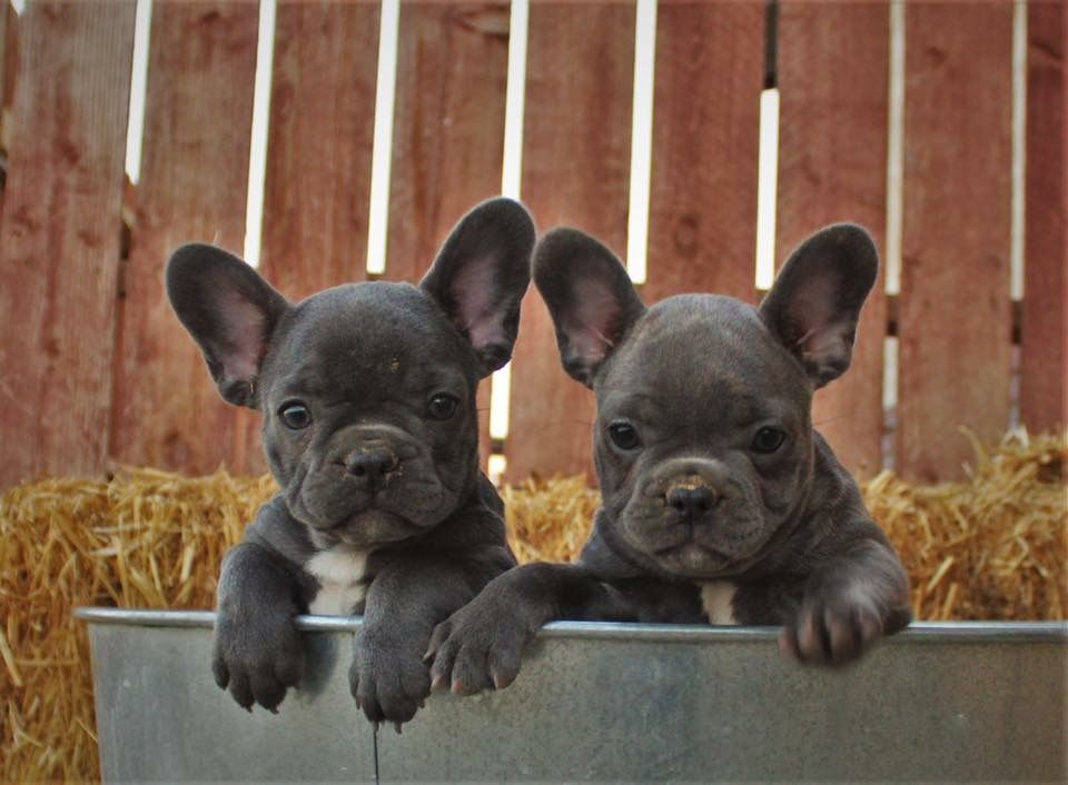 French Bulldog Puppies Photo By Nicole Carothers Cute French