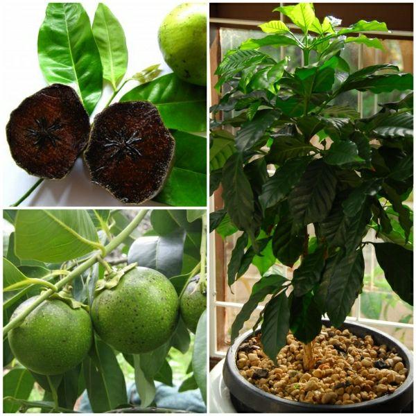 exotische pflanzen der schokoladen apfelbaum f rs haus. Black Bedroom Furniture Sets. Home Design Ideas