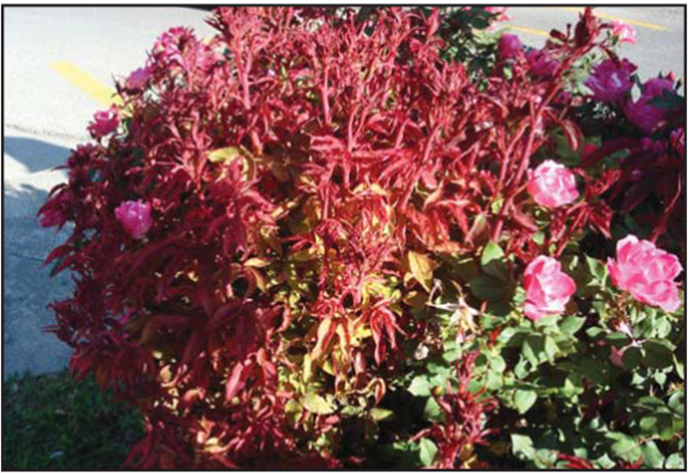 Example Of Rose Bush Infected With Rose Rosette Disease Rosette Disease Rosettes Knockout Roses
