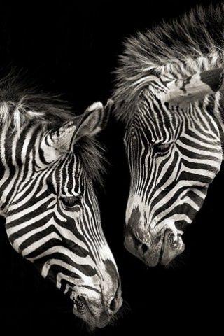 Zebra Love Iphone Wallpaper Iphone Toolbox Animals Animals Black And White Zebra Black and white wallpaper zebra