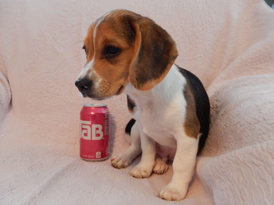 Omg!!!! I WANT IT! !!!!!! Pocket beagle, Cute beagles