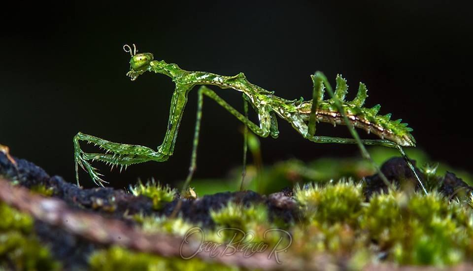 Moss Mantis, Newly Discovered Species by Oscar Blanco
