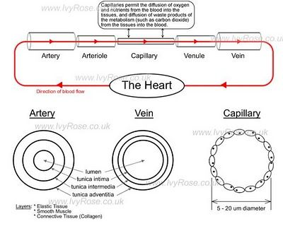 Cross section diagram capillaries complete wiring diagrams veins capillaries arteries detailed diagram of the cross section rh pinterest ca heart diagram cross heart ccuart Image collections
