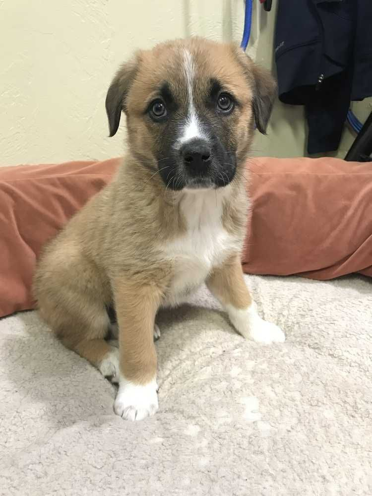 Hazel is an adoptable great pyrenees searching for a