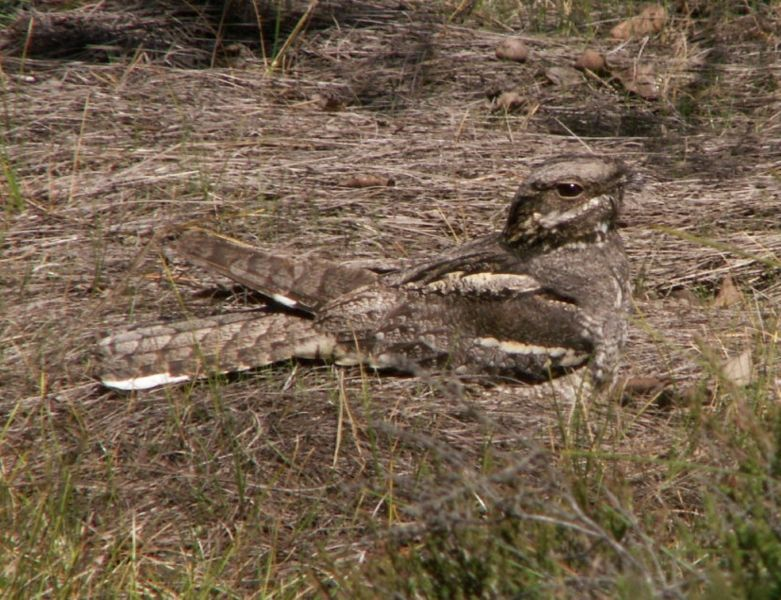 N is for Nightjar Conservation Articles & Blogs CJ