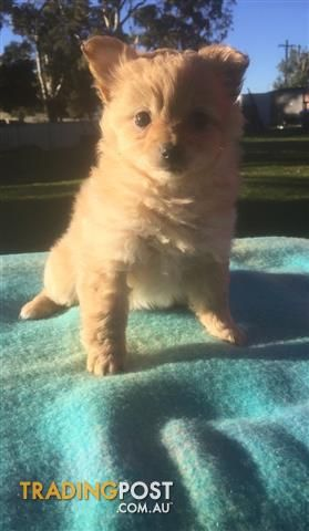 Pomchi Puppies For Sale In Penrith Nsw Pomchi Puppies Pomchi