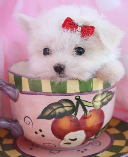 Itty Bitty Maltese Puppy by TeaCups, Puppies & Boutique